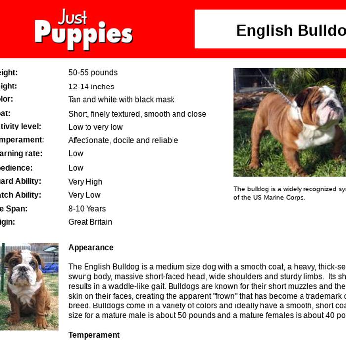 Mix English Bulldog